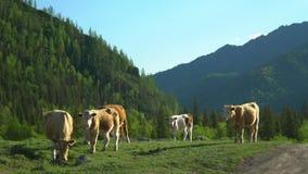 Passeggiata delle mucche su un'erba verde Paesaggio della montagna archivi video