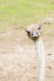 Passeggiata dello struzzo sulla terra Fotografia Stock
