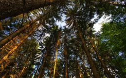 Passeggiata di Forrest sotto gli alti alberi Immagini Stock Libere da Diritti