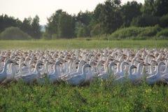 Passeggiata di Gooses all'azienda agricola Immagine Stock Libera da Diritti