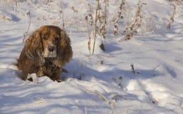 Passeggiata di inverno con lo spaniel immagine stock libera da diritti