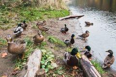 Passeggiata di molte anatre selvatiche sulla riva del lago immagini stock