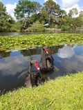 Passeggiata di pomeriggio di autunno con i cigni Fotografia Stock Libera da Diritti