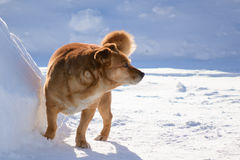Passeggiata di razza del cane Immagine Stock
