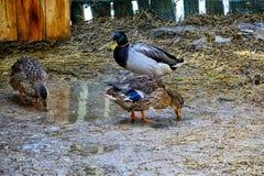 Passeggiata domestica delle anatre sul recinto chiuso Due anatre e un maschio beaks lo stagno del lavaggio in primavera Fotografia Stock Libera da Diritti