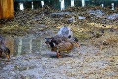 Passeggiata domestica delle anatre sul recinto chiuso Due anatre e un maschio beaks lo stagno del lavaggio in primavera Fotografie Stock