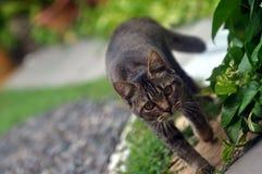 Passeggiata elegante del gatto Fotografie Stock