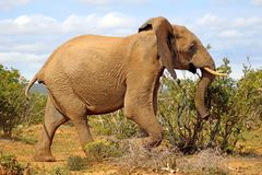 Passeggiata felice dell'elefante Fotografia Stock