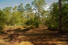Passeggiata isolata della traccia attraverso gli alberi di pino rigido fotografie stock