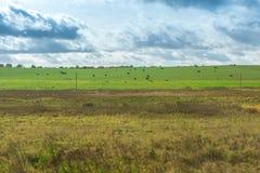 Passeggiata nera delle mucche su un prato Fotografia Stock Libera da Diritti