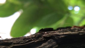 Passeggiata rossa delle formiche video d archivio
