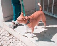 Passeggiata sveglia rossa del cane con la donna fotografie stock