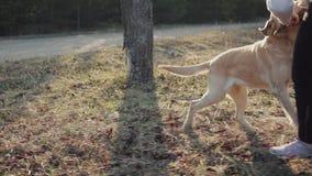 Passeggiate abbastanza castane con di una foresta colorata di dorata di Labrador in primavera stock footage