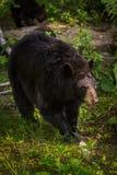 Passeggiate americanus di ursus dell'orso nero della femmina adulta in avanti Fotografia Stock Libera da Diritti