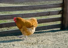 Passeggiate del gallo della gabbia di pollo immagine stock