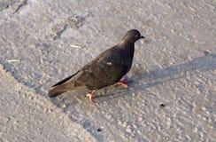 Passeggiate del piccione dell'uccello Fotografia Stock