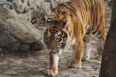 Passeggiate della tigre Immagine Stock Libera da Diritti
