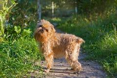 Passeggiate di grifone di Bruxelles della razza del cane Fotografie Stock Libere da Diritti