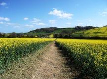 Passeggiate rurali lungo un campo della colza Fotografie Stock Libere da Diritti