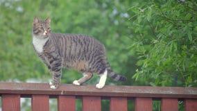Passeggiate a strisce grige del gatto lungo il recinto stock footage