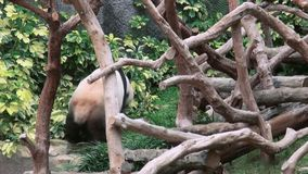 Passeggiate sveglie di un panda gigante in zoo stock footage