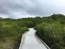 Passeio à beira mar tropical através da floresta dos manguezais Foto de Stock