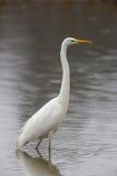 Passeio alba do grande egretta branco do Egret e vadear fotografia de stock royalty free