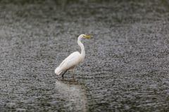 Passeio alba do grande egretta branco do Egret e vadear fotos de stock royalty free
