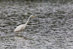 Passeio alba do grande egretta branco do Egret e vadear imagem de stock royalty free