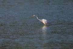 Passeio alba do grande egretta branco do egret e vadear no wate azul fotos de stock royalty free