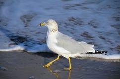 passeio Anel-faturado da gaivota Fotografia de Stock