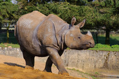 Passeio asiático do rinoceronte Fotografia de Stock Royalty Free