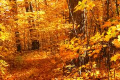 Passeio através das árvores de bordo fotografia de stock royalty free