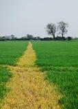 Passeio através de um campo de trigo Fotografia de Stock