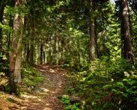 Passeio através de uma floresta do pinho Imagens de Stock