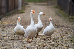 Passeio branco dos gansos Imagem de Stock