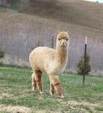 Passeio da alpaca do ouro Imagem de Stock Royalty Free
