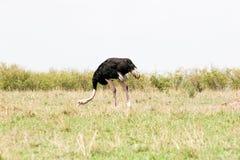 Passeio da avestruz imagens de stock