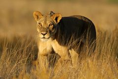 Passeio da leoa Foto de Stock