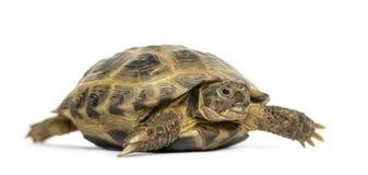 Passeio da tartaruga, Fotografia de Stock