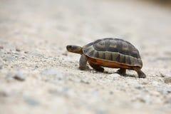 Passeio da tartaruga Imagens de Stock