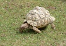 Passeio da tartaruga Foto de Stock