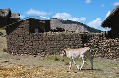 Passeio da vitela Foto de Stock