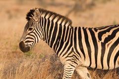Passeio da zebra Fotografia de Stock Royalty Free