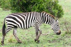Passeio da zebra fotos de stock royalty free