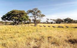Passeio das zebras Imagem de Stock Royalty Free