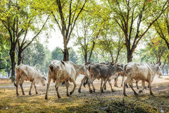 Passeio de Cowherds Foto de Stock