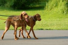 Passeio de dois cães Imagens de Stock