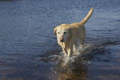 Passeio de Labrador Imagens de Stock