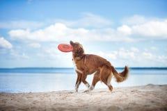 Passeio de Nova Scotia Duck Tolling Retriever, jogando na praia no verão Foto de Stock Royalty Free